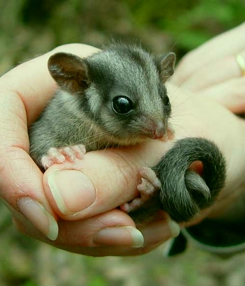 leadbeater possum from imgur.com